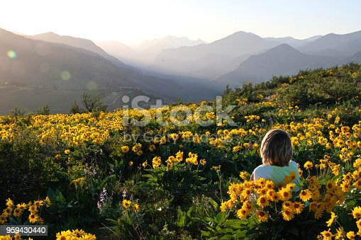 Arnica or Balsamroot flowers  near Seattle. Patterson Mountain. Washington. United States of America.