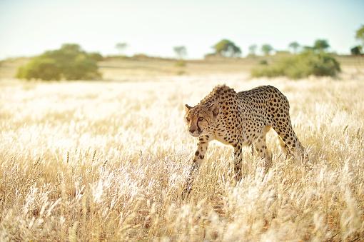 Photo libre de droit de Attention Cheetah Approchant Dans Lherbe Dor banque d'images et plus d'images libres de droit de {top keyword}