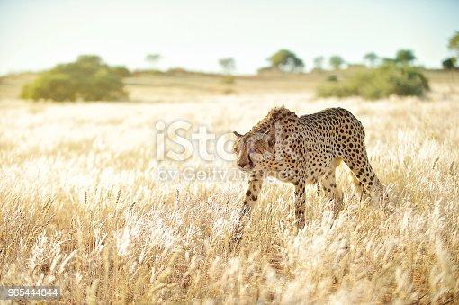 Careful Cheetah Approaching In Golden Grass - Stockowe zdjęcia i więcej obrazów Afryka