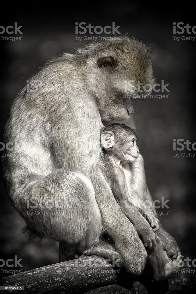 Careful Female Barbary Macaque with baby in zoo royalty-free stock photo