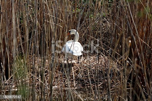 istock Careful looking white swan standing on top of large nest built on side of local lake 1325570142