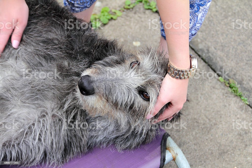 caressing a deer hound stock photo