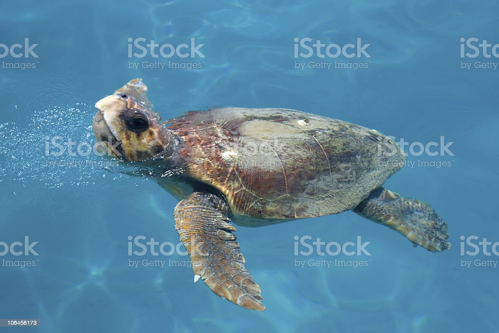 Caretta - Loggerhead sea turtle stock photo
