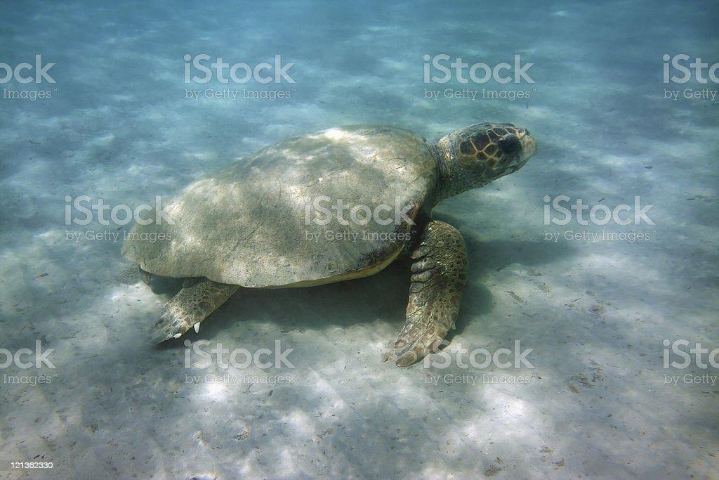 Caretta - Loggerhead sea turtle stock photo