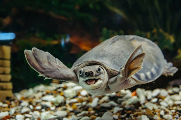Carettochelys insculpta. Carettochelys insculpta. The merry turtle swims under the water. Funny animals. caenorhabditis elegans stock pictures, royalty-free photos & images