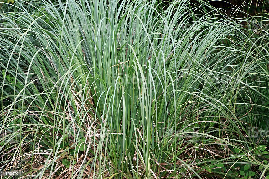 Carex is grassy plants in the family Cyperaceae stock photo