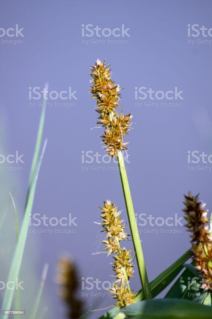 Carex (Carex humilis). stock photo