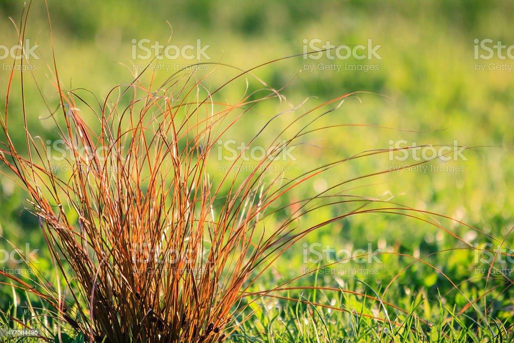 Carex Testacea Prairie Fire stock photo