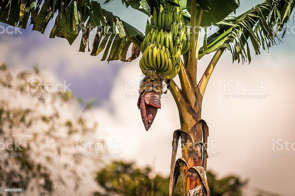 Caribbean Banana Tree stock photo