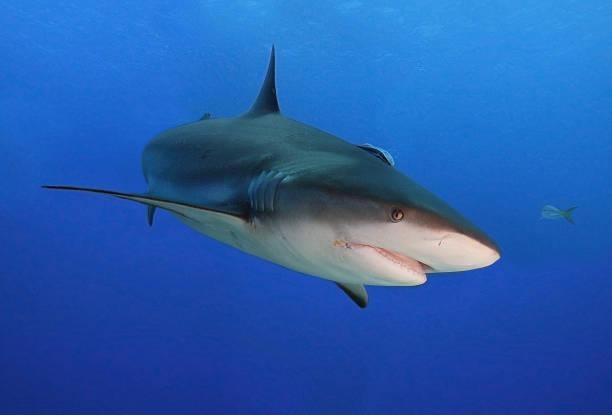 Caribbean black tip shark stock photo