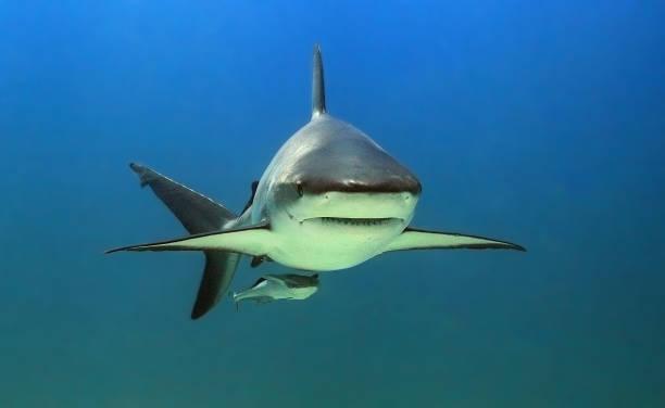 Caribbean black tip shark portrait stock photo