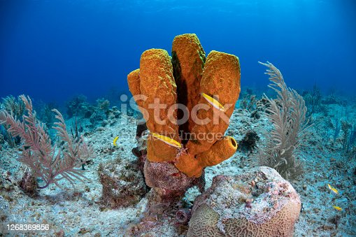 View of the Caribbean coral reef with the yellow tube sponge in Grand Cayman - Cayman Islands