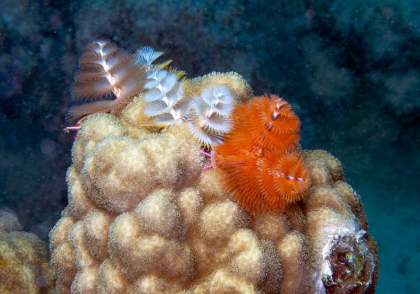 Caribbean coral reef Coral reef in Carbiiean Sea bristle worm stock pictures, royalty-free photos & images