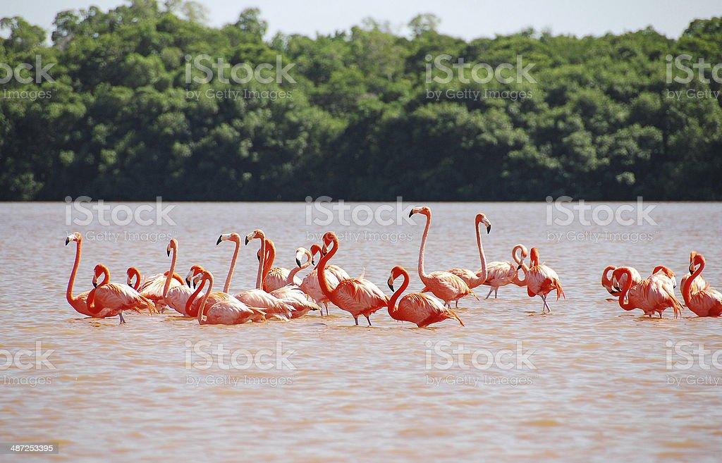 Caribbean Flamingo in Yucatan stock photo