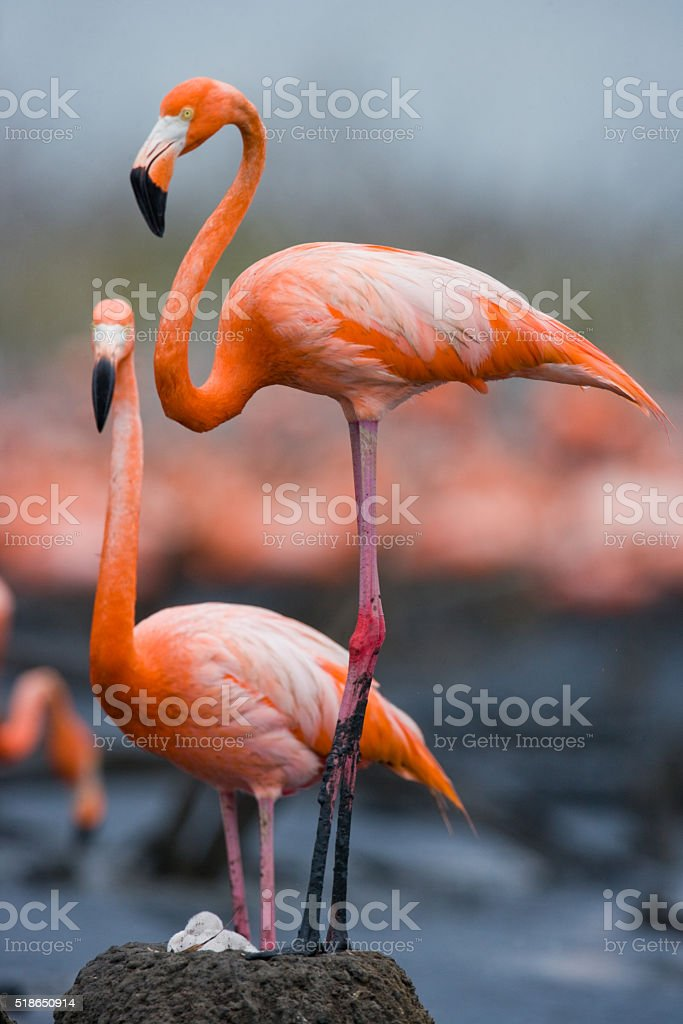 Caribbean flamingo on a nest with chicks stock photo