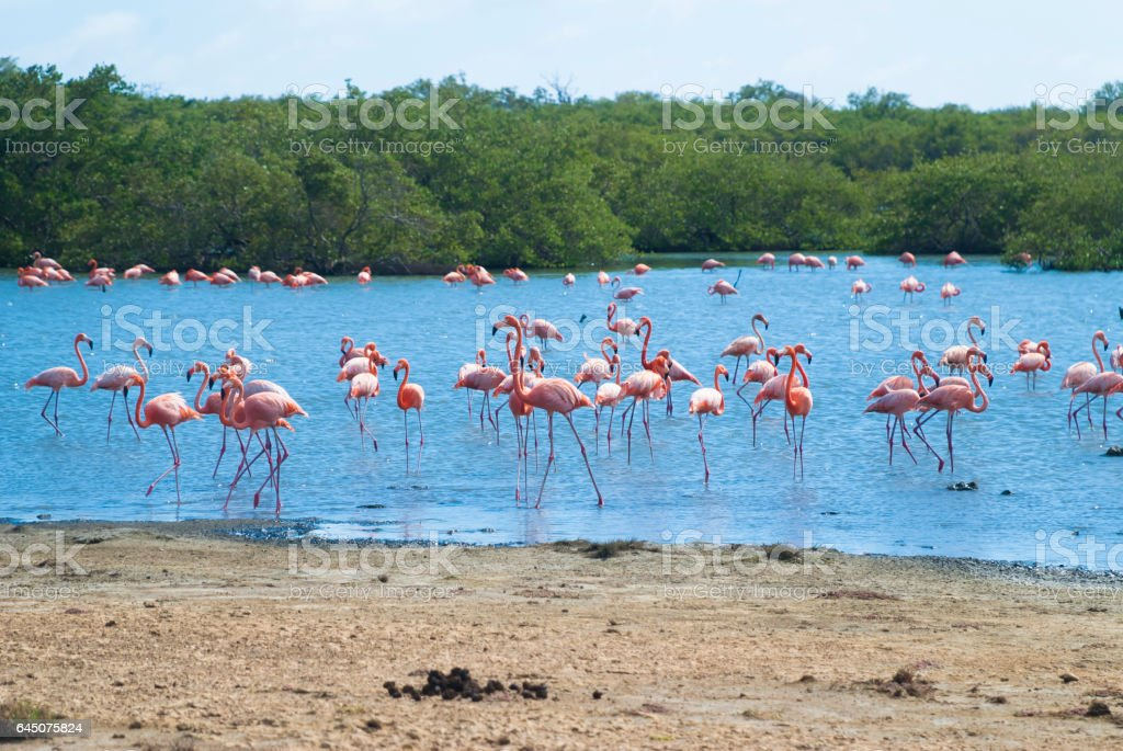 Caribbean flamingoes stock photo