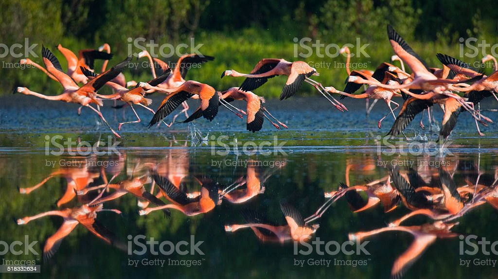 Caribbean flamingos flying over water with reflection stock photo