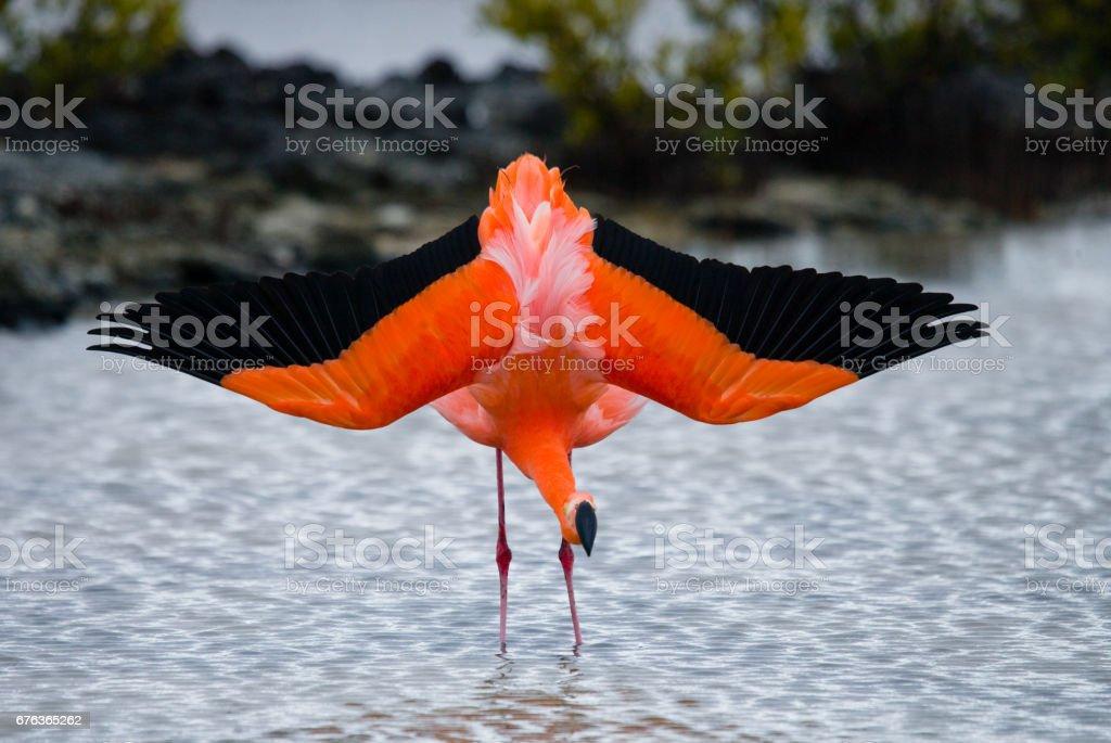 Caribbean flamingos standing in the lagoon. stock photo