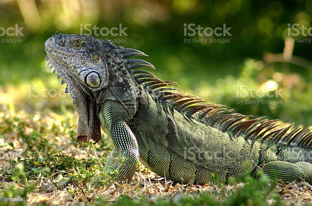 Caribbean Iguana royalty-free stock photo