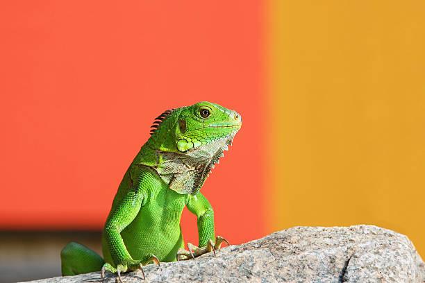 Caribbean Iguana stock photo