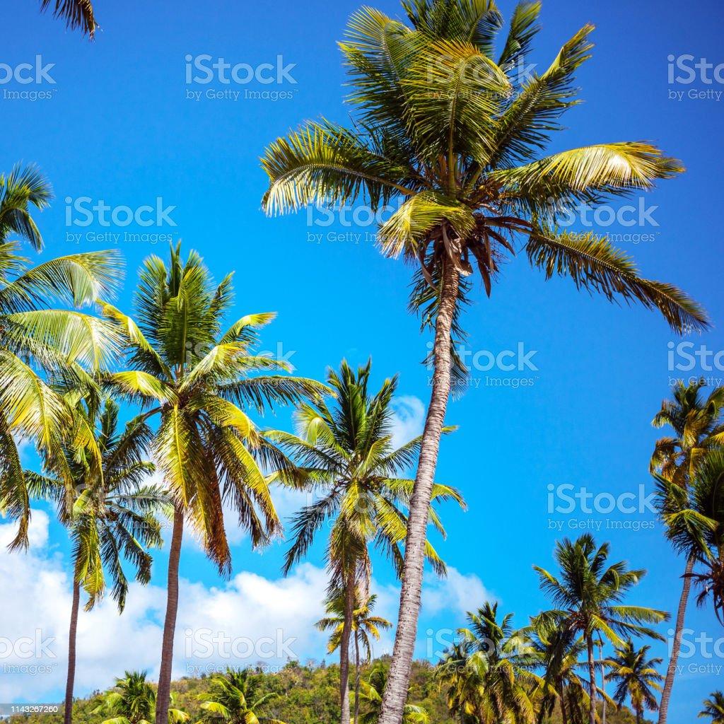Caribbean palm trees - Antigua & Barbuda stock photo