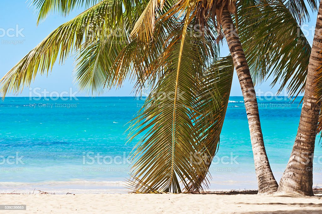 Caribbean palm trees of Las Terrenas in Dominican Republic royalty-free stock photo