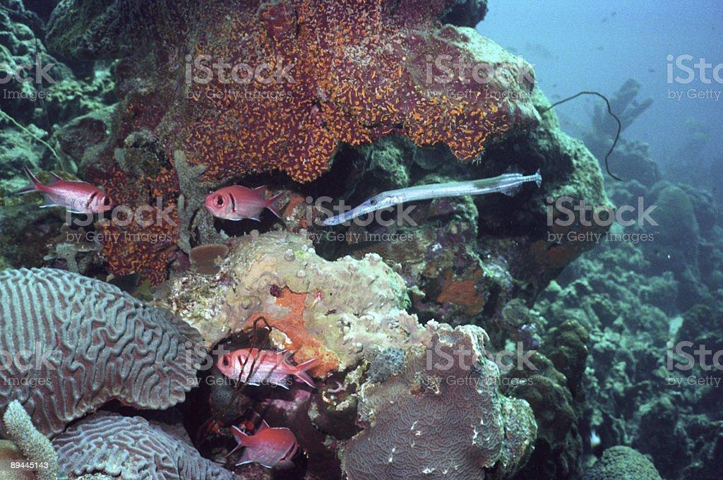 Caribbean reef scène avec la trompette et Poisson-écureuil photo libre de droits
