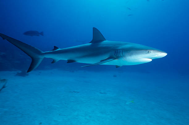 Caribbean Reef Shark – Foto