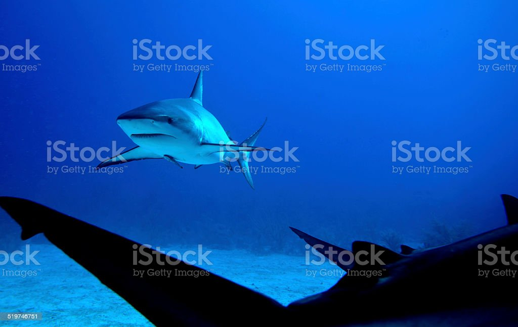 Caribbean Reef Shark - Stock Image stock photo