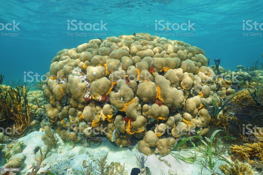 Caribbean reef underwater with lobed star coral stock photo