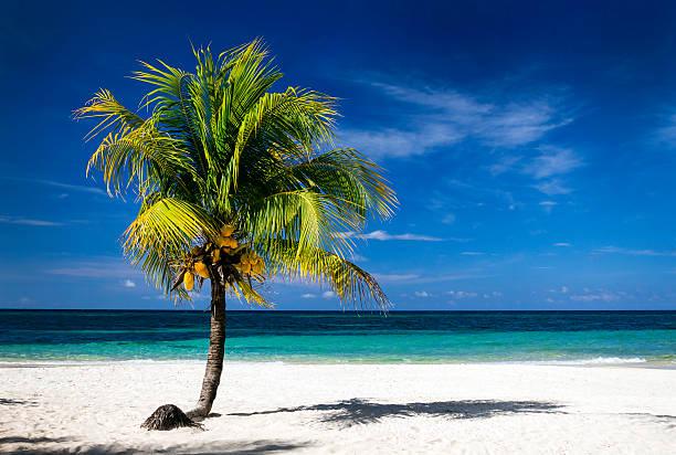 Caribbean Sea and coconut palm on sunny white sandy beach stock photo