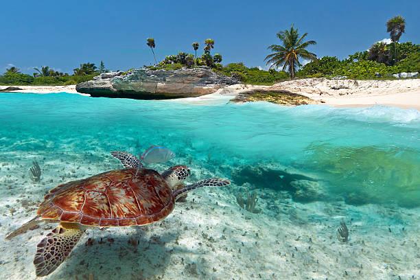 Caribbean Sea scenery with green turtle stock photo