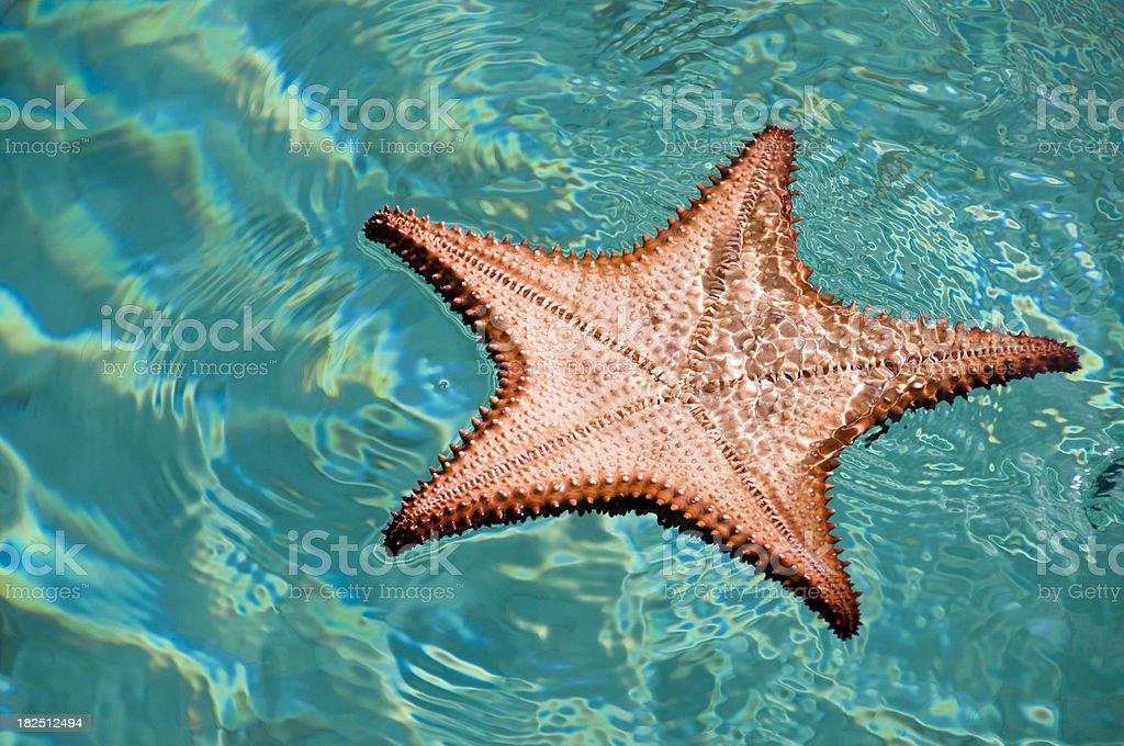 Caribbean Seastar fish stock photo