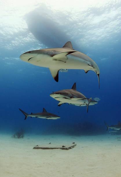 Caribbean sharks stock photo