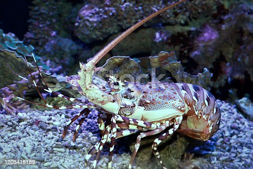 Caribbean spiny lobster  (Panulirus argus) inhabits tropical and subtropical waters of the Atlantic Ocean, Caribbean Sea, and Gulf of Mexico.