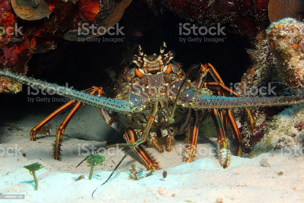 Caribbean Spiny Lobster stock photo
