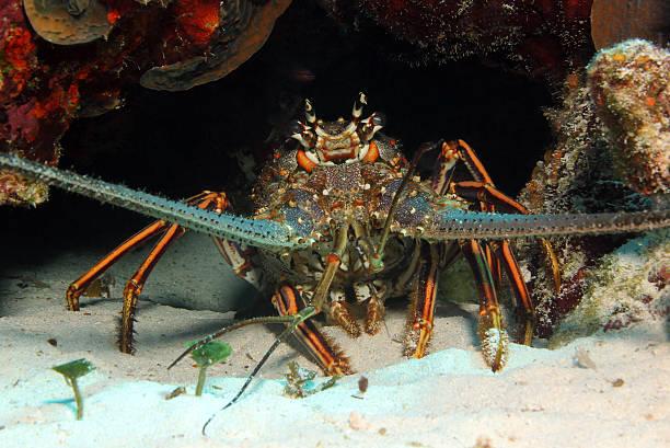 Caribbean Spiny Lobster stock photo
