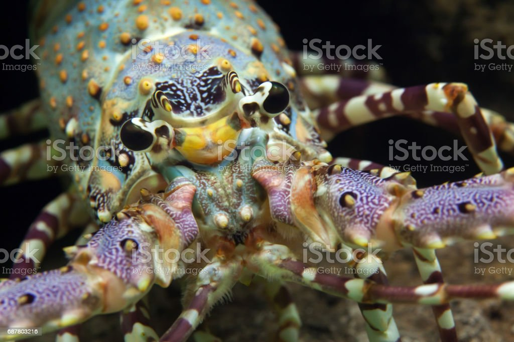 Caribbean spiny lobster (Panulirus argus) stock photo