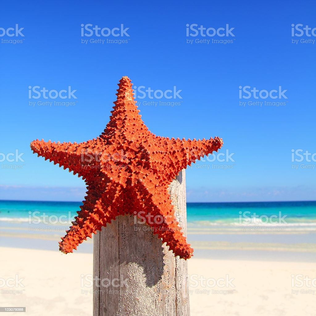 caribbean starfish on wood pole beach royalty-free stock photo