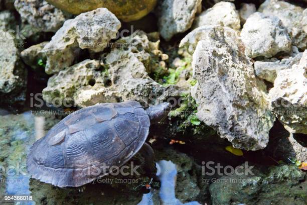 Caribbean turtle standing in water with reflection dominican republic picture id954366018?b=1&k=6&m=954366018&s=612x612&h=c z82mivwbqpxbvekvellj e7nrjrvaq5 zek1ahuka=