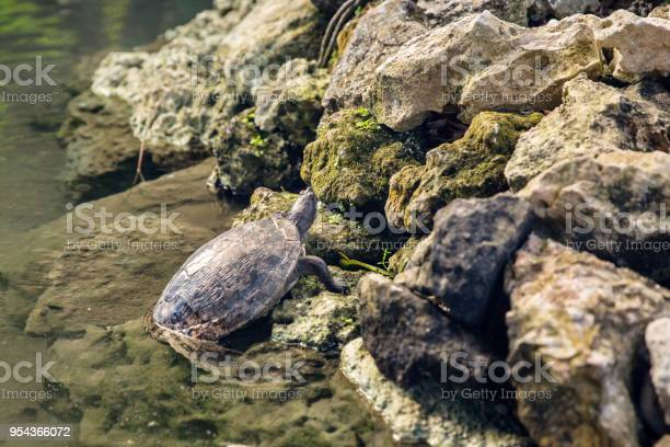 Caribbean turtle standing in water with reflection dominican republic picture id954366072?b=1&k=6&m=954366072&s=612x612&h=widbsegyujzqgdcsgprr1ruco2d dagozb6sx9v7mqo=