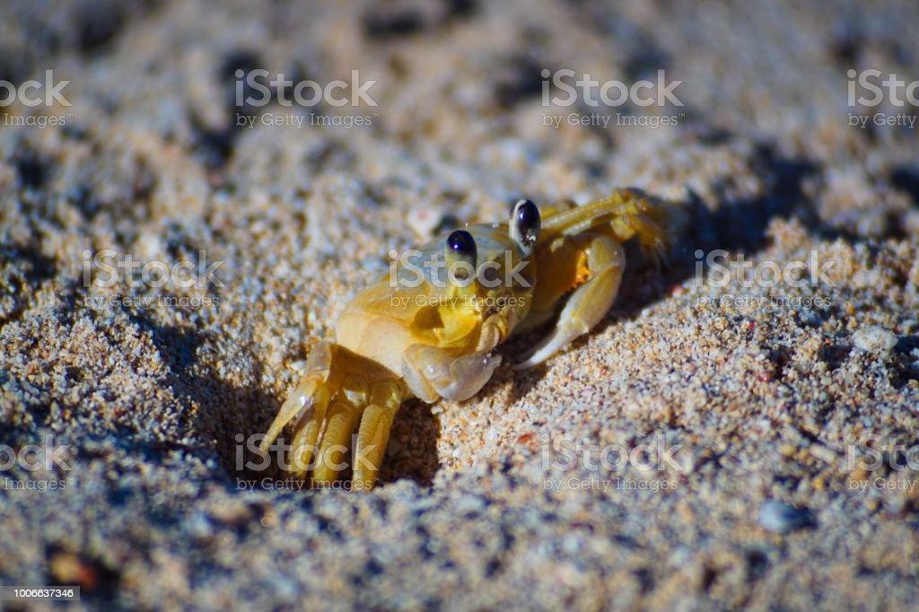 Caribbean yellow sand crab at sunrise stock photo