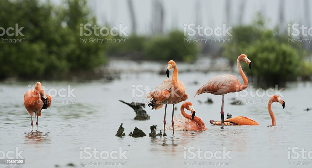 Caribean Flamingo bathing stock photo