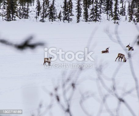Looking through some bushes at a small herd of caribou as the rest on a frozen lake.