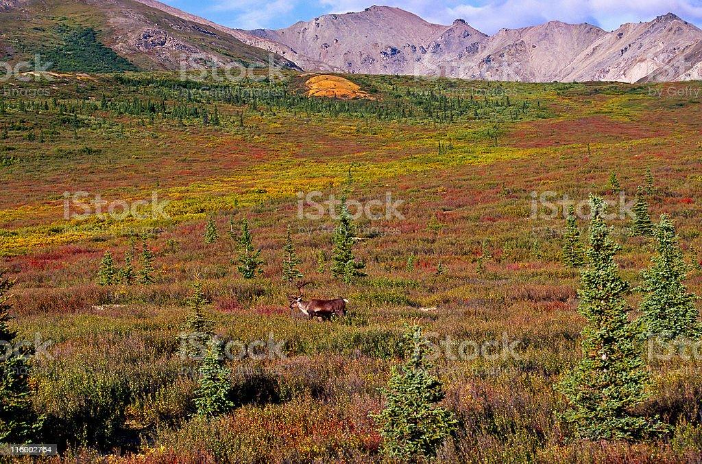 Caribou at the tundra stock photo