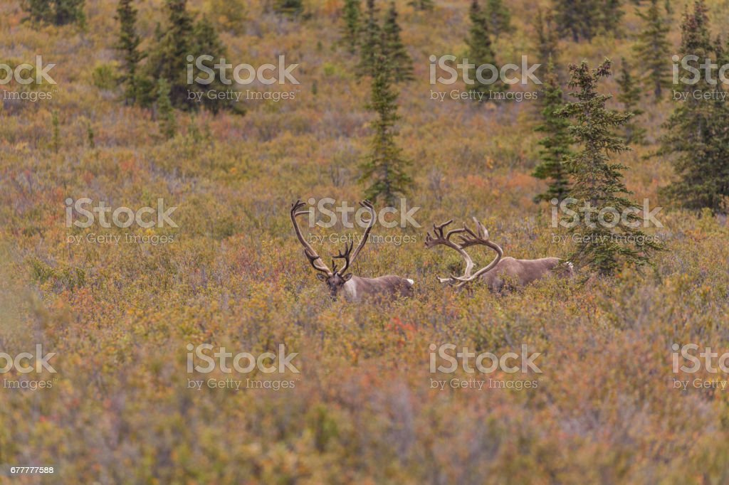 Caribou Bull in Velvet royalty-free stock photo