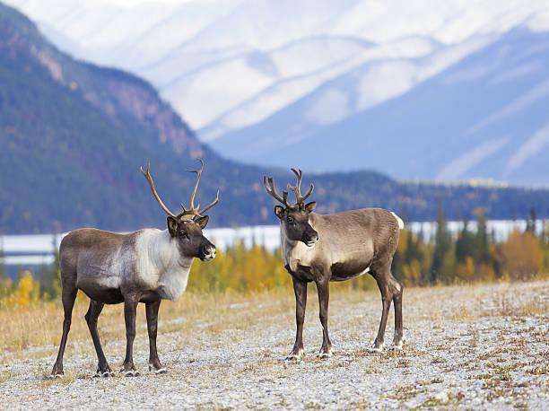 caribou canyon - rendier stockfoto's en -beelden