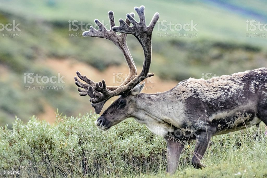 Caribou, Denali National Park, Alaska stock photo