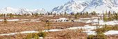 Caribou Herd in Snowcapped Mountain Panorama