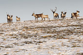 Caribou Herd on Hill Looking at Viewer